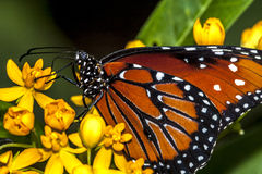 Monarch Butterfly (Danaus Plexippus) Stock Images