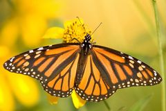 Monarch Butterfly - Danaus plexippus. Monarch Butterfly,Danaus plexippus wings wide open on yellow flower, soft background royalty free stock photo