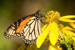 Monarch Butterfly - Danaus plexippus. On a yellow flower Royalty Free Stock Photography