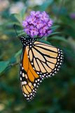 Monarch Butterfly (Danaus plexippus). Female Monarch Butterfly (Danaus plexippus) feeding on nectar from butterfly bush. Female monarchs have stock photo