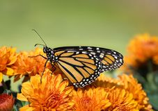 Monarch butterfly Danaus plexippus on autumn flowers Royalty Free Stock Photo