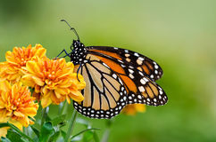 Monarch butterfly (Danaus plexippus) during autumn migration. Monarch butterfly (Danaus plexippus) on orange garden flowers during autumn migration. Natural stock image