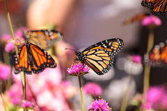 Monarch butterfly, Danaus plexippus. On a bush in spring in Laguna Beach, Southern California stock images