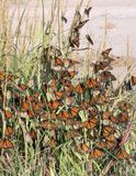 Monarch butterfly Danaus plexippus. Butterflies hid from a str. Ong wind behind a tuft of grass while traveling to wintering grounds. Texas Gulf Coast royalty free stock images
