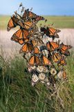 Monarch butterfly Danaus plexippus. Butterflies wait out a str. Ong wind while traveling to wintering grounds. Texas Gulf Coast stock images