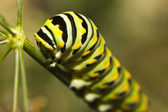 A Monarch butterfly (Danaus plexippus) caterpillar. In central Park royalty free stock photography