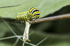 A Monarch butterfly (Danaus plexippus) caterpillar f Stock Image