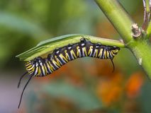 Monarch butterfly, Danaus plexippus ,caterpillar. Monarch butterfly or simply monarch, Danaus plexippus is milkweed butterfly the family Nymphalidae royalty free stock images