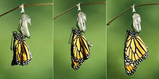 Monarch Butterfly Danaus plexippus drying its wings after meta. Monarch Butterfly Danaus plexippus drying its wings during the first hour after emerging from its stock image