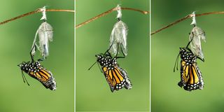 Monarch Butterfly Danaus plexippus drying its wings after emer. Monarch Butterfly Danaus plexippus drying its wings after metamorphosis stock photography