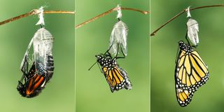 Monarch Butterfly Danaus plexippus drying its wings after eme. Monarch Butterfly Danaus plexippus drying its wings after metamorphosis royalty free stock photo