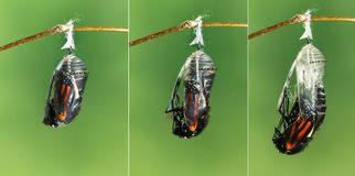 Monarch butterfly emerging from chrysalis to butterfly