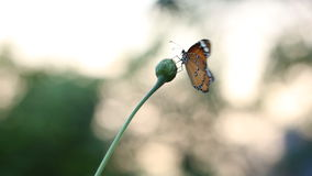 Monarch Butterfly stock video