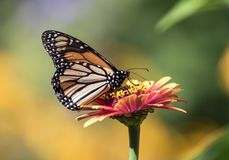 Free Monarch Butterfly Danaus Plexippus Feeding On Orange Flower Royalty Free Stock Image - 156591426