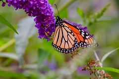 Monarch butterfly Danaus plexippus feeding on purple butterfly b. Ush flowers, ventral view. Copy space royalty free stock photo