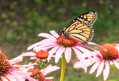 Monarch butterfly. Danaus plexippus on garden purple coneflower, Echinacea purpurea , head upstate rural New York Royalty Free Stock Photography
