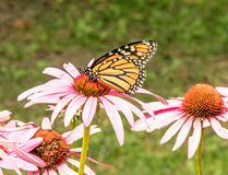 Monarch butterfly. Danaus plexippus on garden purple coneflower, Echinacea purpurea , head upstate rural New York Royalty Free Stock Image