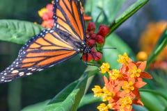 Monarch Butterfly (Danaus plexippus) (male) Stock Photo