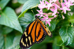 Monarch Butterfly (Danaus plexippus) (male) Royalty Free Stock Photos