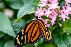 Monarch Butterfly (Danaus plexippus) (male) Stock Photos