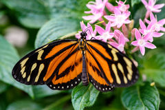 Monarch Butterfly (Danaus plexippus) (male) Stock Photography