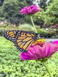 Monarch butterfly Danaus plexippus. Is a milkweed butterfly subfamily Danainae in the family Nymphalidae royalty free stock photo
