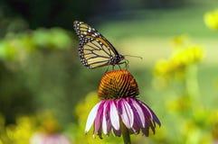 Monarch butterfly Danaus plexippus Royalty Free Stock Photos