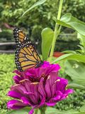 Monarch butterfly Danaus plexippus. Is a milkweed butterfly subfamily Danainae in the family Nymphalidae stock image