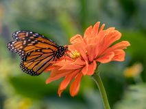 Monarch butterfly Danaus plexippus. Is a milkweed butterfly subfamily Danainae in the family Nymphalidae stock photos