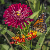 Monarch butterfly (Danaus plexippus). Is a milkweed butterfly (subfamily Danainae) in the family Nymphalidae royalty free stock photo