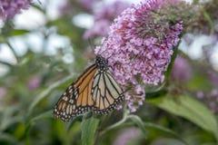 Monarch butterfly (Danaus plexippus) Stock Images