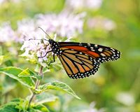 Monarch butterfly Danaus plexippus. Collecting nectar from flowers stock image
