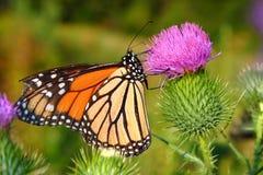 Monarch Butterfly Danaus plexippus Stock Photo