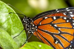 Monarch butterfly ,Danaus plexippus. Monarch butterfly,Danaus plexippus is a milkweed butterfly subfamily Danainae in the family Nymphalidae royalty free stock images