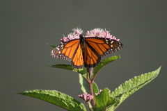 Monarch Butterfly. (Danaus plexippus) in the morning sun stock image