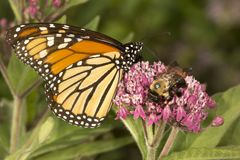 Monarch butterfly perched on milkweed flowers in Vernon, Connect. Monarch butterfly, Danaus plexippus, perched on milkweed flowers with a bumble bee at the stock photography