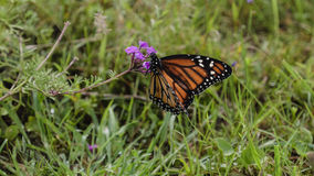 The monarch butterfly  (Danaus plexippus) Stock Images