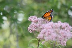 Monarch Butterfly Danaus plexippus on Purple Flower royalty free stock images