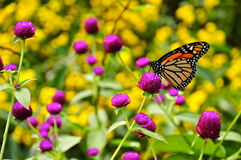Monarch Butterfly. Monarch Danaus plexippus on purple flower; Waimea Botanical Garden, Oahu, Hawaii Royalty Free Stock Photos