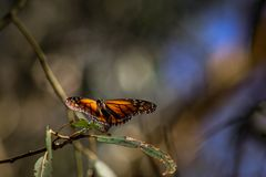 Monarch Butterfly on a Leaf. A monarch butterfly Danaus plexippus resting on a branch at a butterfly grove in Santa Barbara, California stock photos