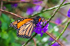 Monarch butterfly (Danaus plexippus) at San Antonio Botanical Garden. Monarch butterfly (Danaus plexippus) feeding on purple flowers at San Antonio Botanical stock images