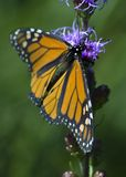 Monarch Butterfly (Danaus plexippus) - Side View Stock Photography
