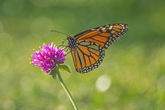 Monarch butterfly, Danaus plexippus. Monarch butterfly or simply monarch, Danaus plexippus is milkweed butterfly the family Nymphalidae stock images