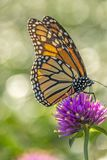 Monarch butterfly, Danaus plexippus. Monarch butterfly or simply monarch, Danaus plexippus is milkweed butterfly the family Nymphalidae royalty free stock photography