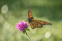 Monarch butterfly, Danaus plexippus. Monarch butterfly or simply monarch, Danaus plexippus is milkweed butterfly the family Nymphalidae royalty free stock photos