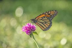 Monarch butterfly, Danaus plexippus. Monarch butterfly or simply monarch, Danaus plexippus is milkweed butterfly the family Nymphalidae royalty free stock images
