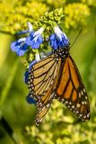 Monarch butterfly, Danaus plexippus. Monarch butterfly or simply monarch, Danaus plexippus is milkweed butterfly the family Nymphalidae stock photo