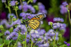 Monarch butterfly, Danaus plexippus. Monarch butterfly or simply monarch, Danaus plexippus is milkweed butterfly the family Nymphalidae stock photos