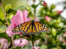 Monarch butterfly, Danaus plexippus. Monarch butterfly or simply monarch, Danaus plexippus is milkweed butterfly the family Nymphalidae royalty free stock photo
