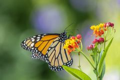 Monarch butterfly, Danaus plexippus. Monarch butterfly or simply monarch, Danaus plexippus is milkweed butterfly the family Nymphalidae royalty free stock image